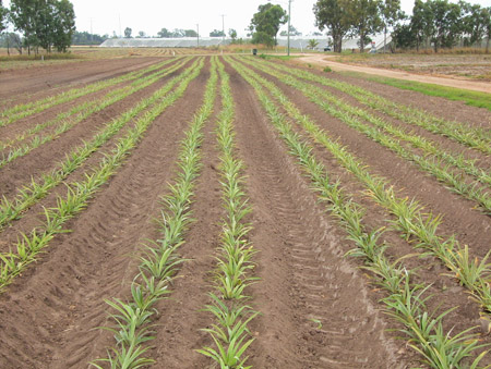 North Queensland new variety plantings