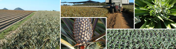 Pure Aussie Pineapples Collage